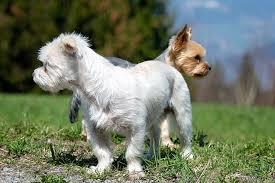 @parti yorki con un yorkshire terrier atrás