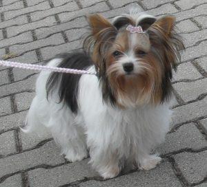 @yorkshrie terrier  Biewer terrier - RAZA DE PERRO TRICOLOR - hay que sacarlo a pasear