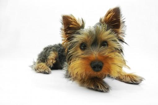 Cosas para tí y para tu casa de yorkshire terrier
