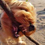 @yorkshire terrier - dientes del yorkshire terrier.