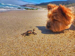@yorkshire terrier  intentando cazar al cangrejo o hablando con el.. Ulises es el yorki yorki