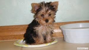 @yorkshire terrier alimentación del yorki
