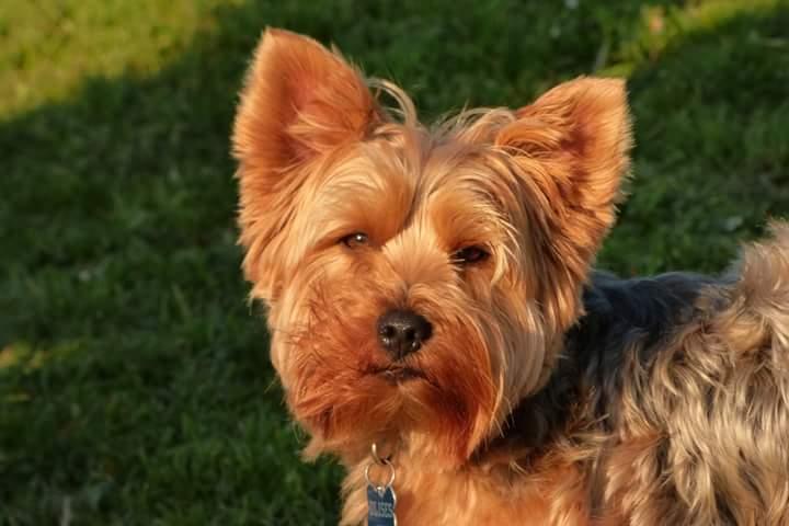 El Mundo del Yorkshire Terrier Una pequeña raza de perros con carácter