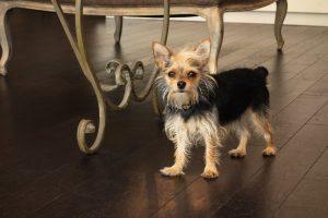 @yorkshire terrrier - este es el Chorkie un cruce entre el yorkshire terrier y el chiguagua
