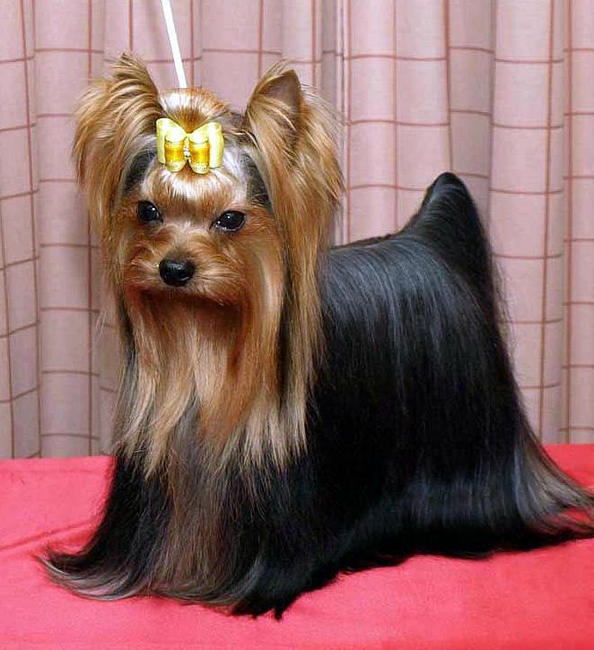 Cuidados del yorkshire terrier. Salud e higiene en tu yorki. enfermedades típicas de los yorkshires