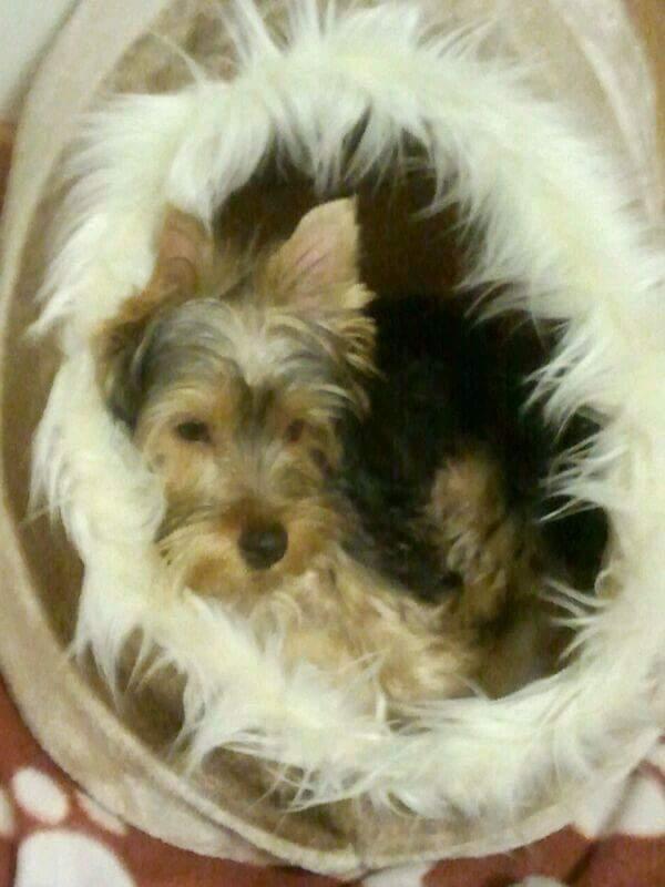 @yorkshire terrier - Iglú de mi pequeño yorkshire terrier Ulises