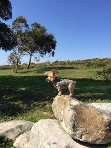yorkshire terrier en el monte yorkshire terrier como el rey leon