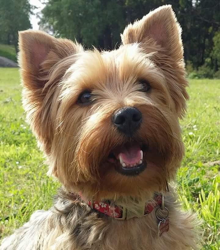 Cosas para tu Yorkshire Terrier