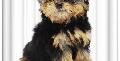 Cortina de baño yorkshire terrier negro fuego