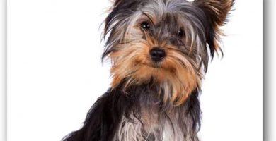 Yorkshire Terrier Felpudo absorbente, tacto suave, resistente al desgaste, sin pelusa
