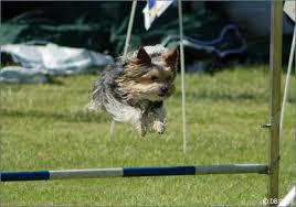 @yorkshire terrier agility . haciendo ejercicio con tu yorki. deporte agility con perro.
