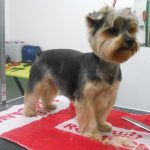 yorkshire terrier en la peluqueria canina