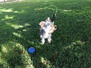 yorkshire terrier jugando