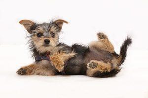 chorkie chorky terrier - insuficiencia renal - dieta barf - premios deshidratados - yorkshire terrier
