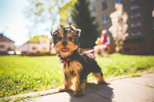 dieta barf y yorkshire terrier