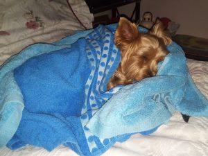 mi perro tiene gripe perruna gripe canina